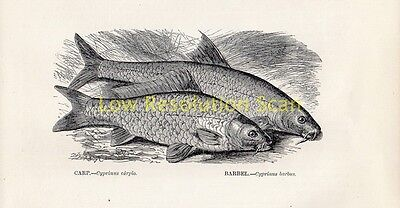 Carp & Barbel - Antique Art Print Engraving Fish Reptile 1863