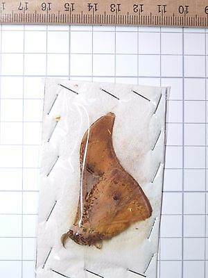 Nice Unknown Moth N°8 Large Saturniidae Lepidoptera Cameroon Africa Papered