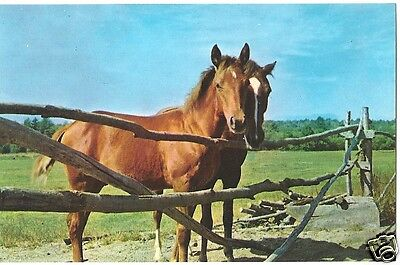 Original Vintage 1950s-60s Horse PC- Two Horses stand by Wooden Fence