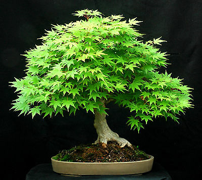 10 Green Japanese Maple (acer palmatum) seeds Bonsai Maple Tree CombSH