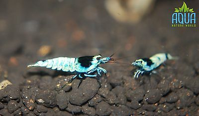 3 x Tai mosura black Taiwan bee shrimp group Algae Clean Up  Aquarium live fish