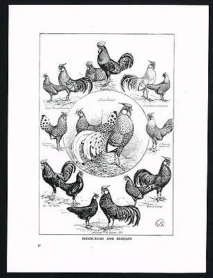 1910 Antique Print - Poultry, Hamburghs & Redcaps Chicken Breed, Roosters Hens