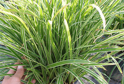 GARDEN PLANTS - 3 x Bare Rooted CAREX 'ICE DANCE' Grass - Free Post,,,