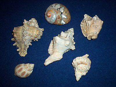 6 X Mixed Sea Shells  3 X Conch Shells Plus 3 Other Shells Good Condition