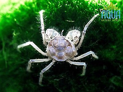 5 x  Laos Thai Micro Crab  Tropical  live fish not cherry