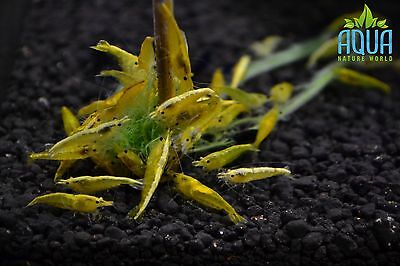 5 x Yellow gold stripe shrimp  Algae Clean Up Tropical  live fish not cherry