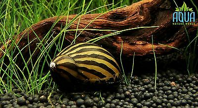 5 x Zebra nerite  algae eating snail Tropical Aquarium live fish not cherry