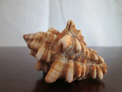 """Small Hard Shell Spined Carribean Vase  Sea Shell 2 1/2"""" Long-Found in Carribean"""