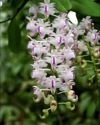 Orchid. Collectable. Aerides odorata. Seedling species.