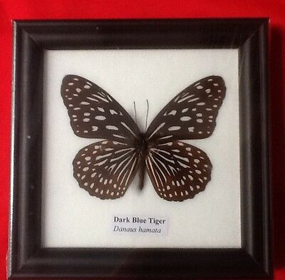 Real Dark Blue Tiger Butterfly Taxidermy Insect Picture Frame Entomology