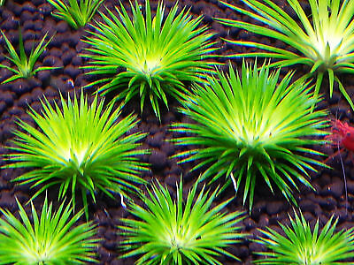 Eriocaulon seeds BUY 3 GET ONE FREE - Live Aquatic Aquarium Plants
