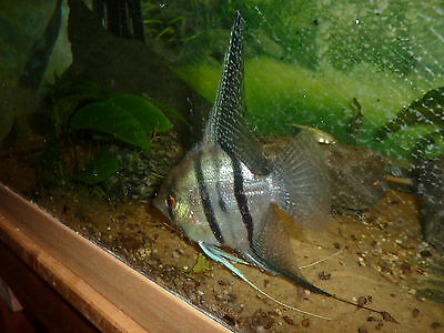 Angel Fish group inc' at least one breeding pair - good size. Cichlid tropical