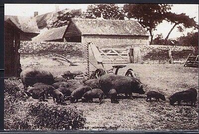 1905 Pigs Nostalgic Postcard From Collection E4