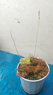 Carnivorous Plants - Drosera Spatulata  ( Red Form ) seeds
