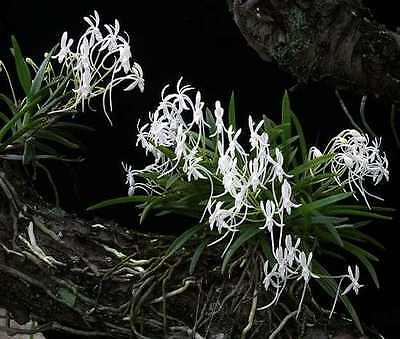 Orchid. Collectable. Neofinetia falcata. Seedling. Species.