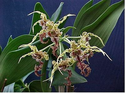 """Orchid. Collectable. Dendrobium spectabile """"Cape Oasis"""". Seedling. Species."""
