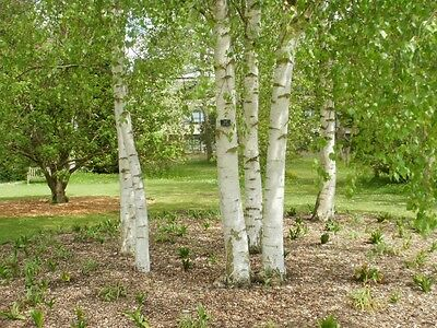 5 x VERY LARGE SILVER BIRCH TREES 10-12FT TALL - INSTANT SCREEN -COLLECTION ONLY