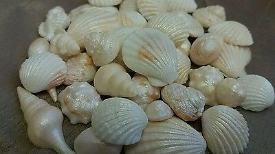 50 Edible Sugar Icing Sea Shells Shimmer Beach Cupcake Toppers Cake Decorations
