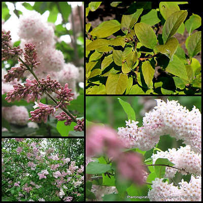 7 Wolf's Lilac Pale Panicles Shrubs Garden Plants Syringa wolfii Korean Flowers