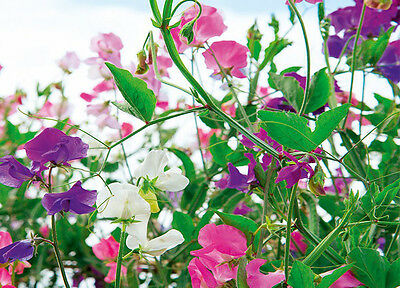 50 Sweet Pea , Knee High Mix seeds *Colorful * Easy Grow *Fragrant* CombSH K13