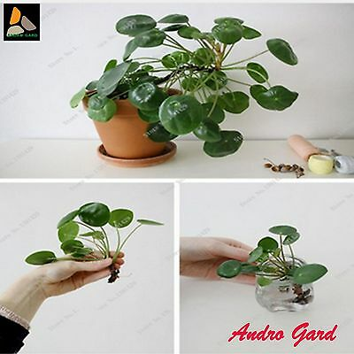 Chinese Money Tree Hanging Water Grass Seed 50+