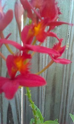 Epidendrum Ibaguense crucifix orchid red kikie