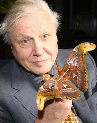 David Attenborough UNSIGNED photo - H6029 - Atlas Moth