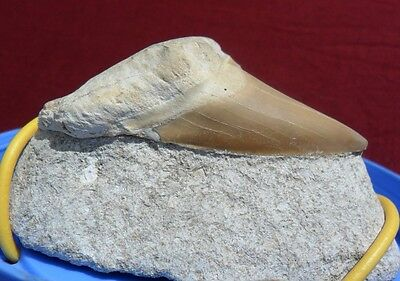 Bargain  2.8'' Otodus Obliquus Fossil Shark Tooth On Matrix.morocco