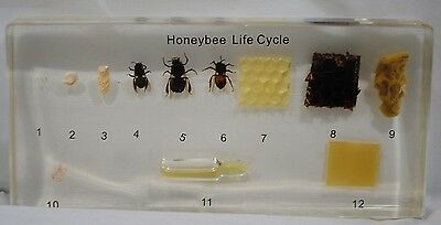 Honey Bee Life Cycle Set Clear Education Insect Specimen Plastomount REALBUG