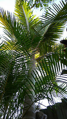 Large mature 6 meter high alexander alex palm tree for tropical pool area Plants