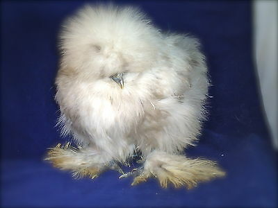 12+ Silkie/sizzle/showgirl/shizzle Hatching Eggs, Npip & Ai Negative