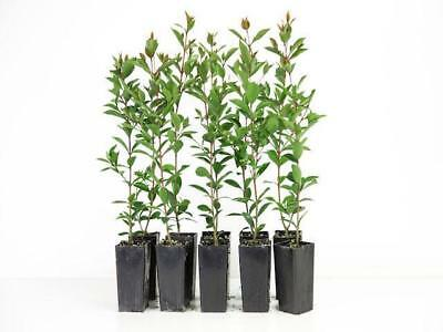 8-100 Plants| Syzygium Resilience| Native HEDGE - Lilly Pilly| Grows 3-4m Tall