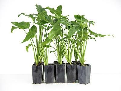 8-100 Plants Xanadu | Philodendron | Grows to 1m| Full Sun | Part Shade