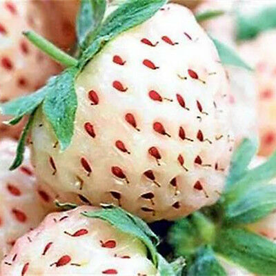 30 Seeds White Alpine Strawberry Fragaria Vesca Pineberry Pineapple Flavor Seed