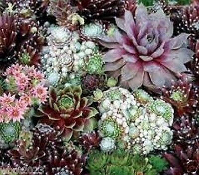 50+ Sempervivum Hardy Species Mix Flower Seeds / Perennial