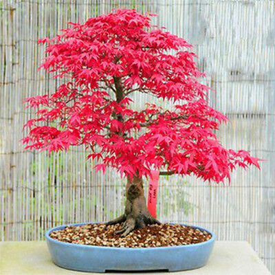 10 Red Japanese Maple seeds Acer palmatum atropurpureum Bonsai Maple Tree CombSH
