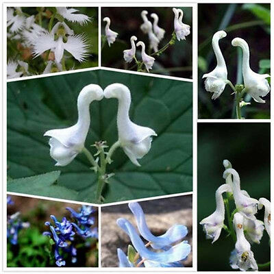 100pcs Rare Swan Flowers seeds Characteristics Flower seeds White