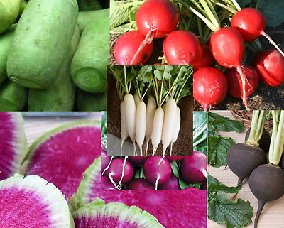 RADISH Colour Mix 100 seeds Heirloom vegetable garden NON GMO Open Polinated