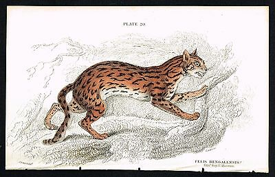 1834 Antique Print - Bengal Wild Cat Feline, Hand-Colored Engraving - Jardine