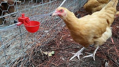 LOT of 10 Automatic Chicken Poultry Water Drinker Drinking Cups, Bird Coop, US
