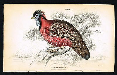 1843 Antique Print - Crimson Horned Pheasant, Tibet, Hand-Colored Engraving
