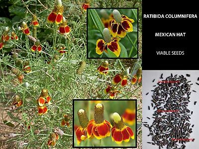 Ratibida Columnifera 50/100 Semi - Mexican Hat Flowers Tested Viable Seeds