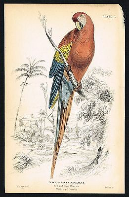 1836 Antique Print - Scarlet Macaw Parrot, Bird, Hand-Colored Engraving