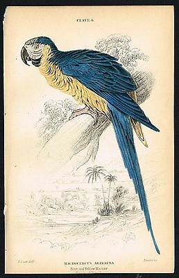 1836 Antique Print - Blue and Gold Yellow Macaw Parrot, Hand-Colored Engraving