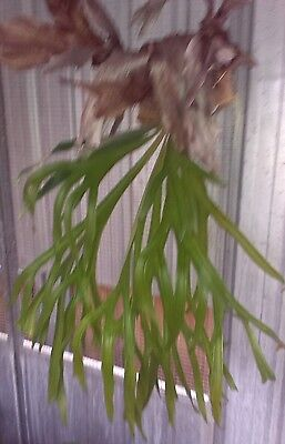 elkhorn fern long fronds 71cm length