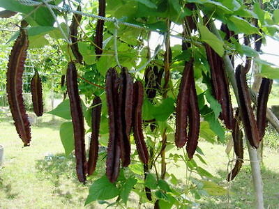 Best New Of 10 Seeds Winged Bean Seeds,Princess Bean from thailand+