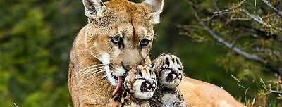 New Image Brown Mother Puma With Sons