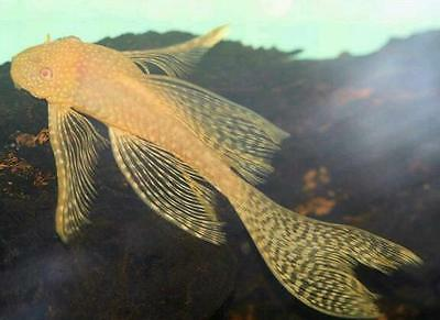 Long Fin Gold Bristlenose Pleco Ancistrus live  tropical aquarium fish