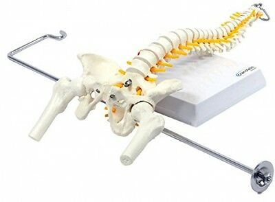 Spine Model with Pelvis Moveable Femur Heads with Stand for Hanging Flexible