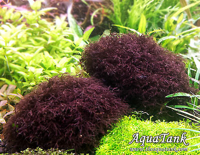 Caloglossa sp. beccarii / red moss- Live Aquatic Aquarium Plants